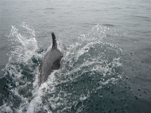 Bottle-nosed dolphin, Chile.