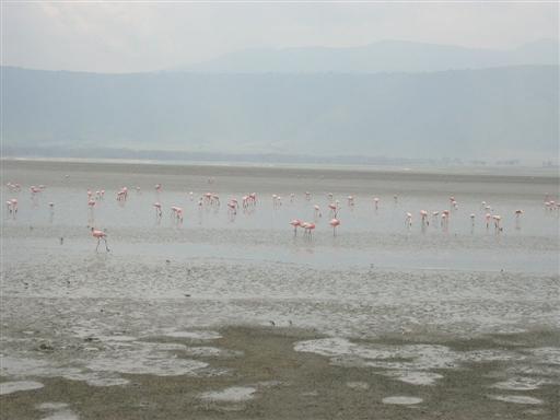 Flamingoer i Ngorongoro krateret