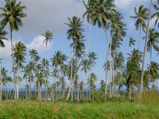 Kokospalmer på Zanzibar