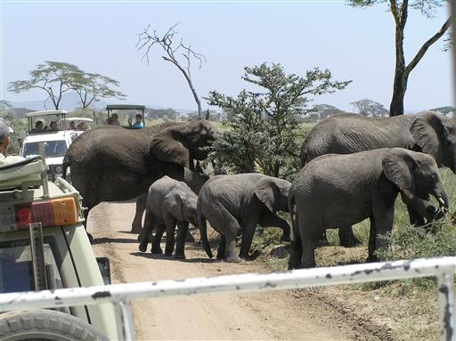 Trafikprop p� Serengeti-sletten