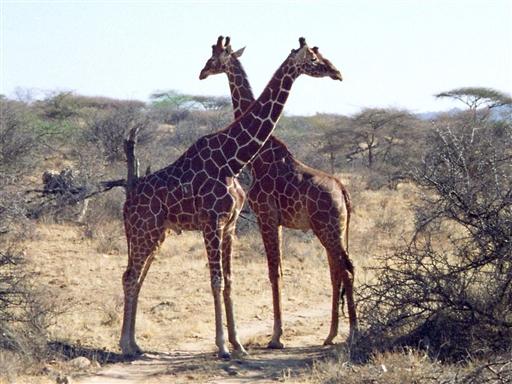 Vi kommer helt t�t p� dyrene p� vores safari