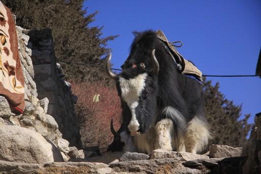 En yakporter på vej til Base Camp.