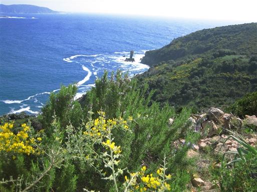 Makien i blomst. Her bidrager bl.a. rosmarin til nogle berusende duftoplevelser. Capu Rossu på vestkysten