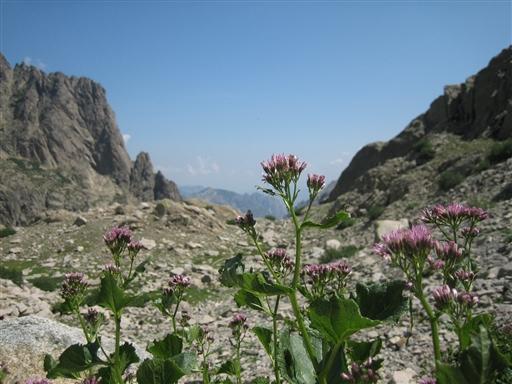 I Korsikas forrevne bjerge findes mange smukke blomster