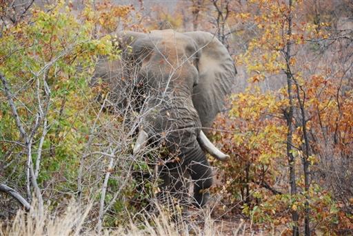 Stor hanelefant i Krüger Nationalparken