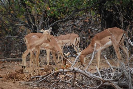 Kæmpende impalaer i Krüger Nationalparken