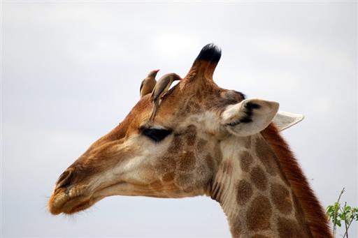 Giraf med små hjælpere!