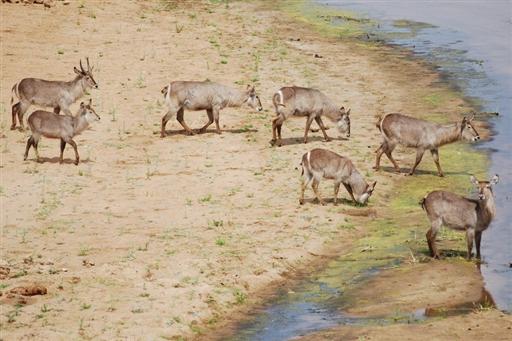 Vandbukke i Krüger Nationalparken