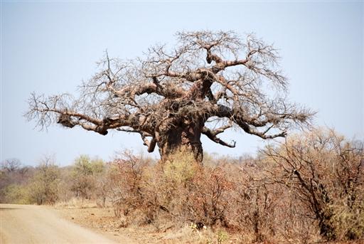 Det sydligste baobab-træ i Afrika. Krüger Nationalpark