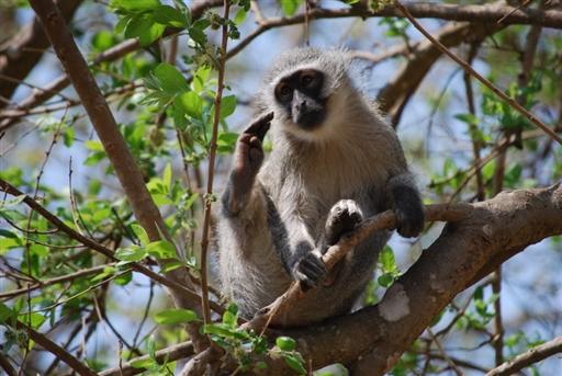Marekat - det er altså en abe!