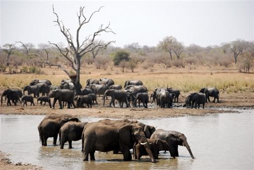 Stor flok elefanter