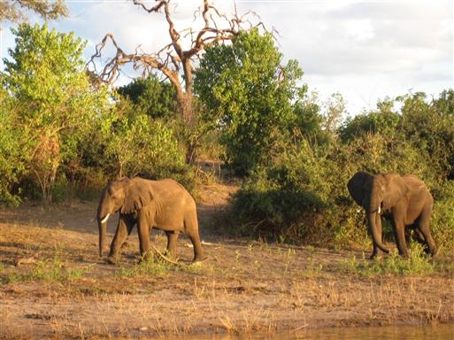 Elefanter i Hlane Game Park - Swaziland