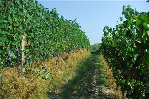 Vi går en tur med vinbonden Franco i vinmarkerne på opdagelsen af Barolo Grand Cru og fortællinger fra området