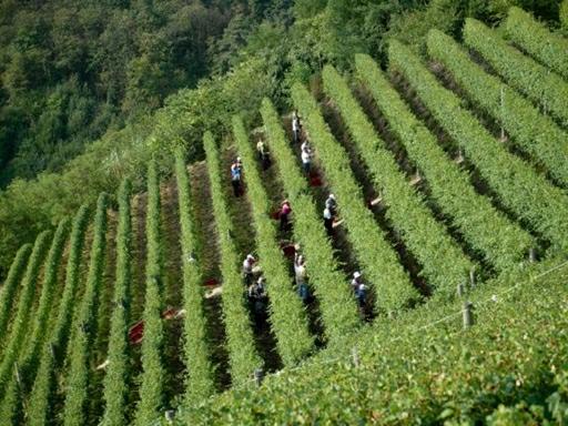 """Travl aktivitet på de stejle vinmarker i Barolo – bemærk """"slæden"""" der transporterer druerne op ad bakken"""