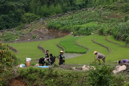 Black Hmong på arbejde i rismarkerne - Vietnam