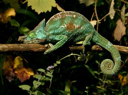 Kamæleonen er et forunderligt dyr - Madagaskar