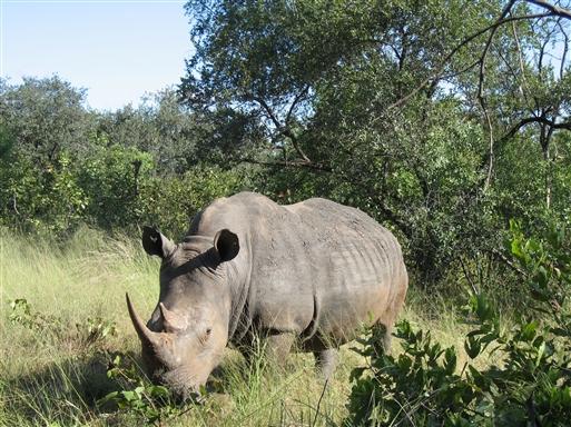 Stort, hvidt næsehorn - Sydafrika