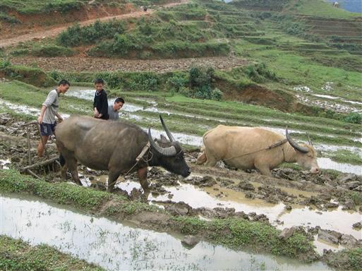 Vandbøfler - Vietnam