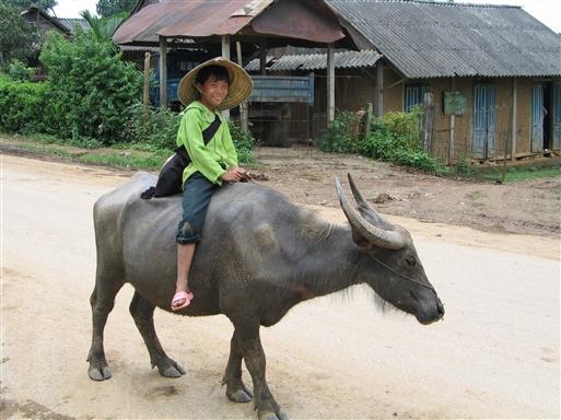 Vandbøffel med chauffør - Cambodia