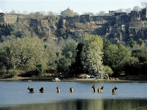 Ranthambore Nationalparken i Rajahistan - Indien