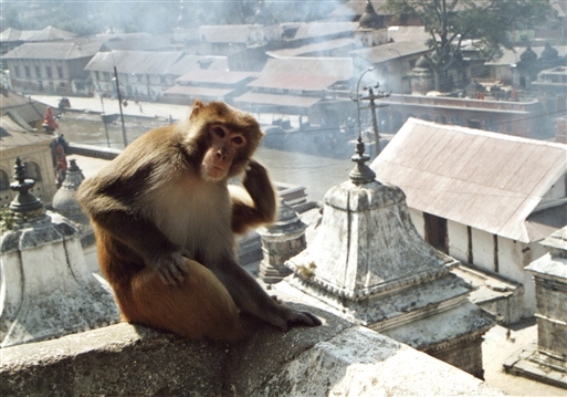 Ved Pashupatinath ser man som regel aber