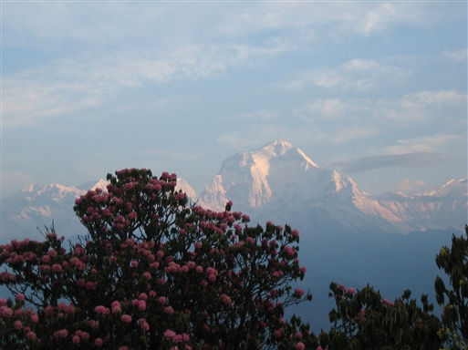 Forårstur - store rhododendron med Dhaulagiri i baggrunden