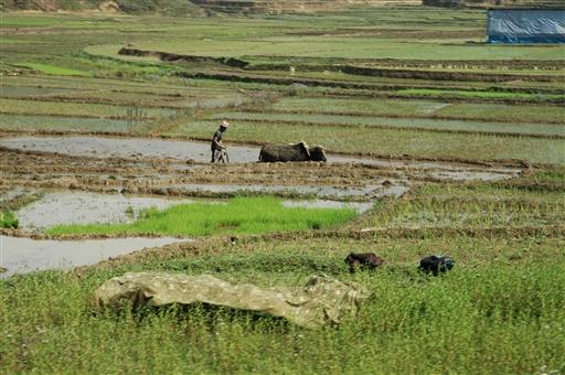 Udplantning af ris nær Pokhara