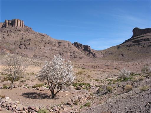 Et mandeltræ i fuldt flor og farverige bjerge i baggrunden.