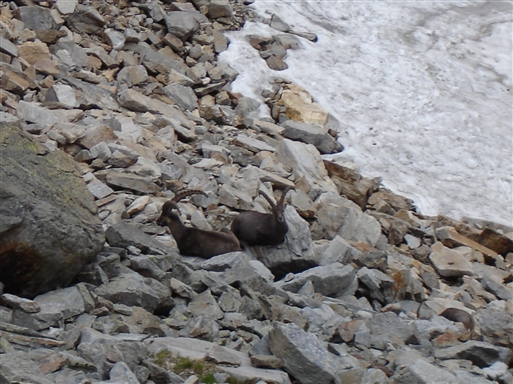 Stenbukke der hviler sig, efter at de har lavet halsbrækkende manøvrer rundt på små klippeafsatser