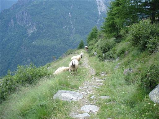 Vi møder jævnligt får, køer og geder på vandrestierne. Bjælderne bidrager alle fint til den alpine stemning!