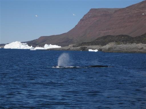 Blåst fra hvaler tæt på kysten.