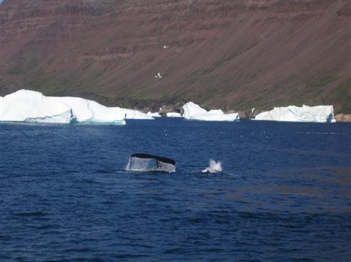 Ofte jager hvalerne i flok, så man kan sagtens have udsigt til flere hvaler på en gang.