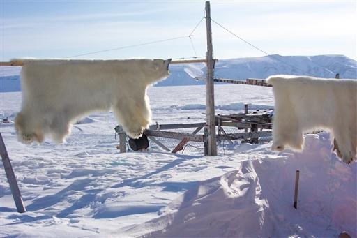 Isbjørn er stadig et vigtigt bytte for fangerne Thuledistriktet