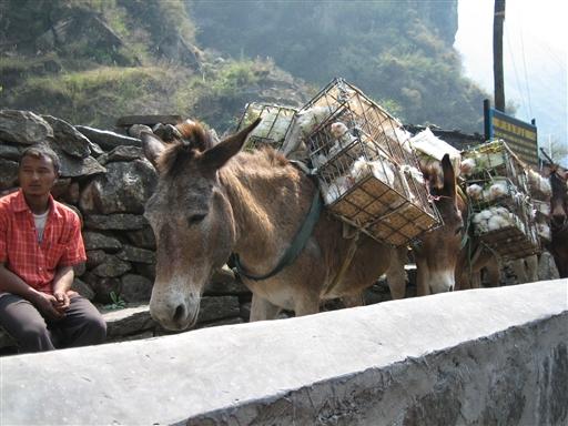 Stort set alt hvad man har brug for skal transporteres op i bjergene. Her bærer muldyrene bl.a. høns