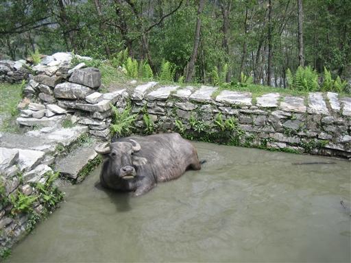 Det må være en vandbøffel!