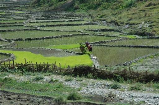 Rismarker nær Pokhara plantes til med ris