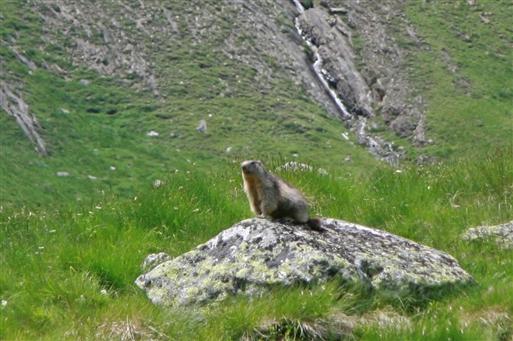 Murmeldyrenes advarselskald skærer gennem den friske bjergluft.