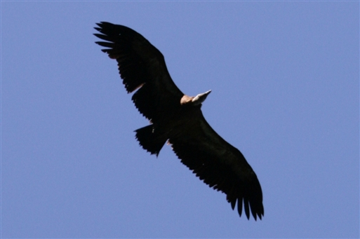 Luften over os patruljeres ofte af gribbe og andet flyvende