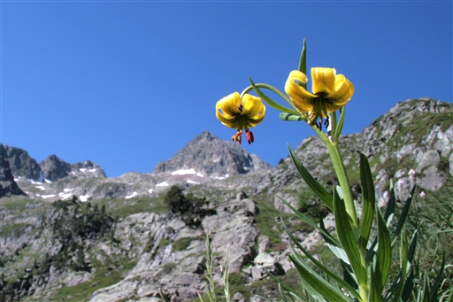 Den sjældne Pyrenæ-lilje blomstrer på disse kanter.