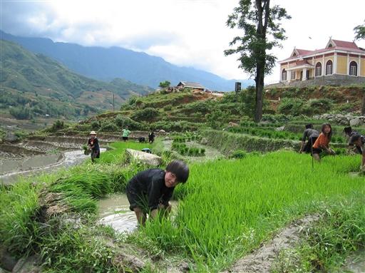 Alle, både voksne og børn, deltager i risdyrkningen