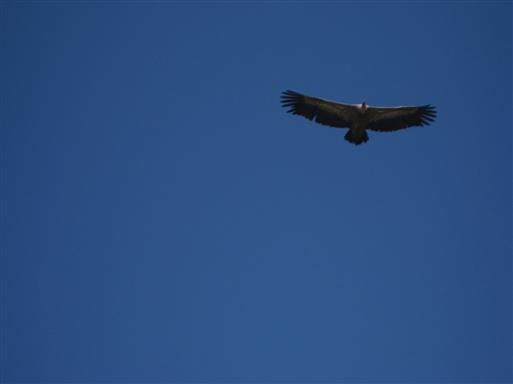Gigantiske gåsegribbe med et vingefang på 230-280 cm svæver over os op til Juan Robre.