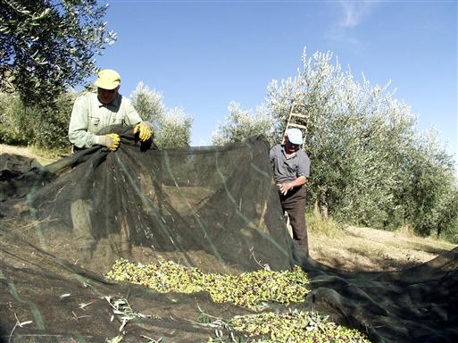 Olivenhøsten er i gang.