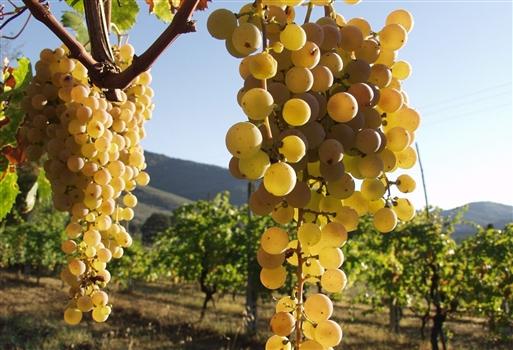 Flotte hvide druer bliver til den friske hvidvin
