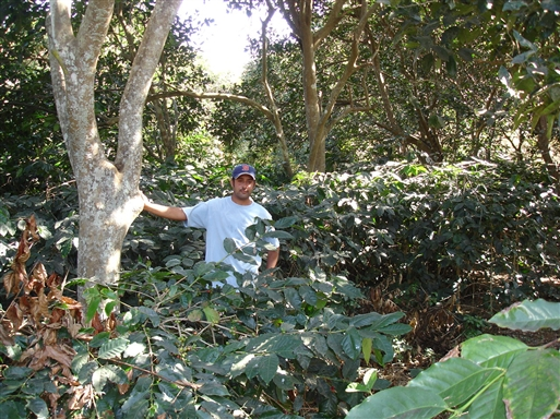 Kaffeplantning på Fogo.