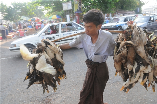 Friske levende ænder på vej til markedet i Yangon