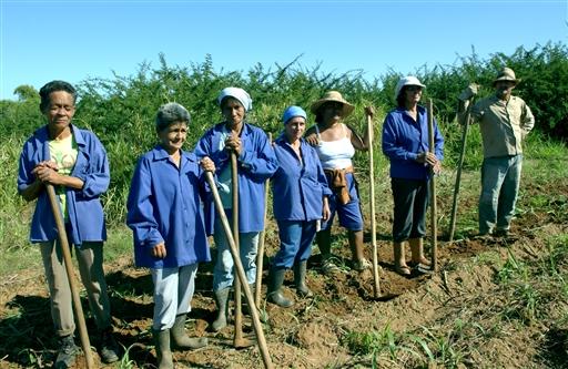 Cubanske landarbejdere i sukkerrørsplantagerne