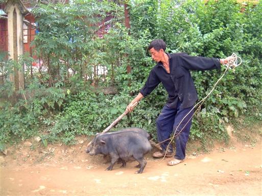 De sorte vietnamesiske hængebugsvin er vist lidt svære at holde styr på.