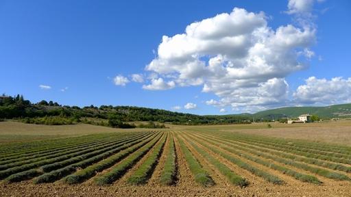 Høstet lavendelmark