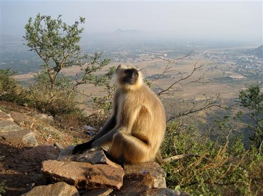 Langur abe ved Savitri Mandir templet i Pushkar.