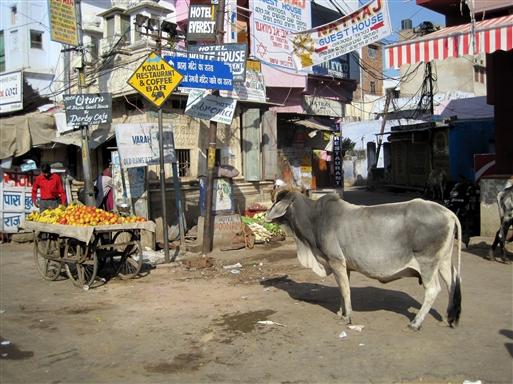 Skilteskov og hellig ko i Pushkar